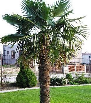 Trachycarpus Fortunii