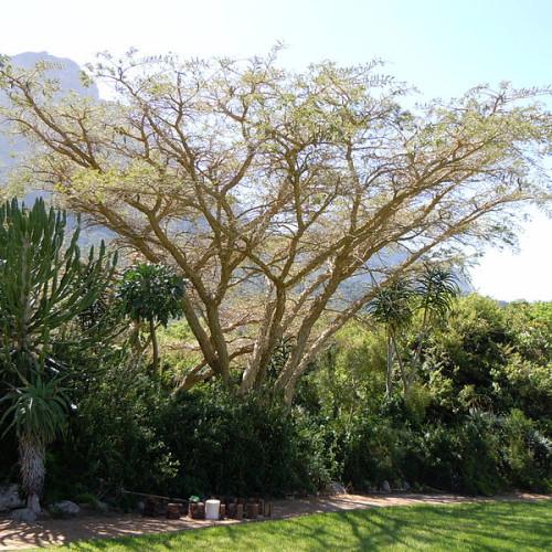 800px-Kirstenbosch_-_Acacia_sieberiana