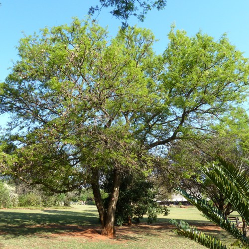 Acacia_nigrescens,_Pretoria_NBT