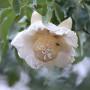 Adansonia Digitata flower