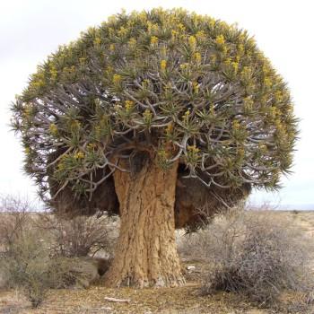 Afzelia quanzenensis