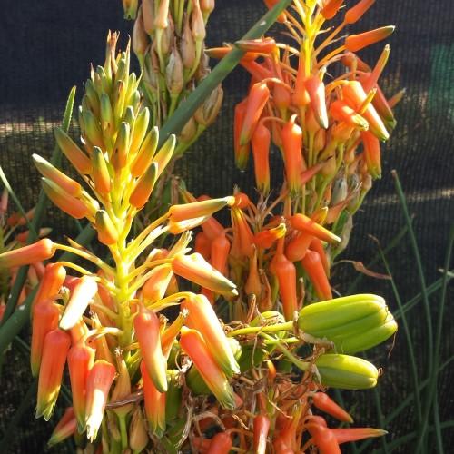 Aloe cooperi (2)