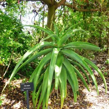 Aloe thraskii 1