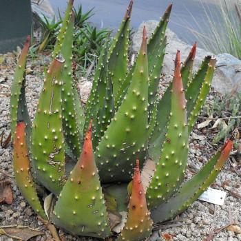 Aloeaculeata
