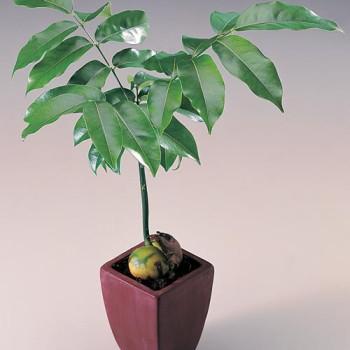 Casteospurmum australis1
