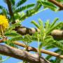 acacia-tortilis-umbrella-thorn-flowers