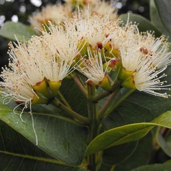 800px-Syzygiumcordatum2