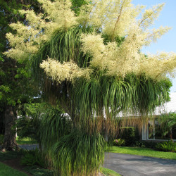Beaucarnia recuvarta